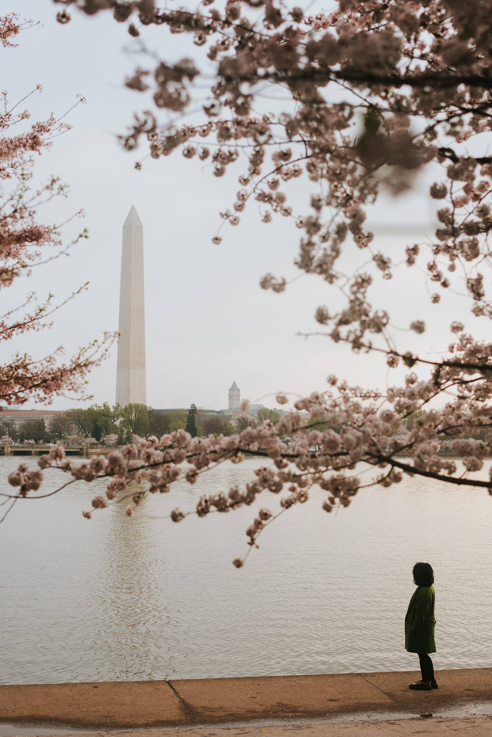 Cherry Blossoms with the Washington Monument in the background